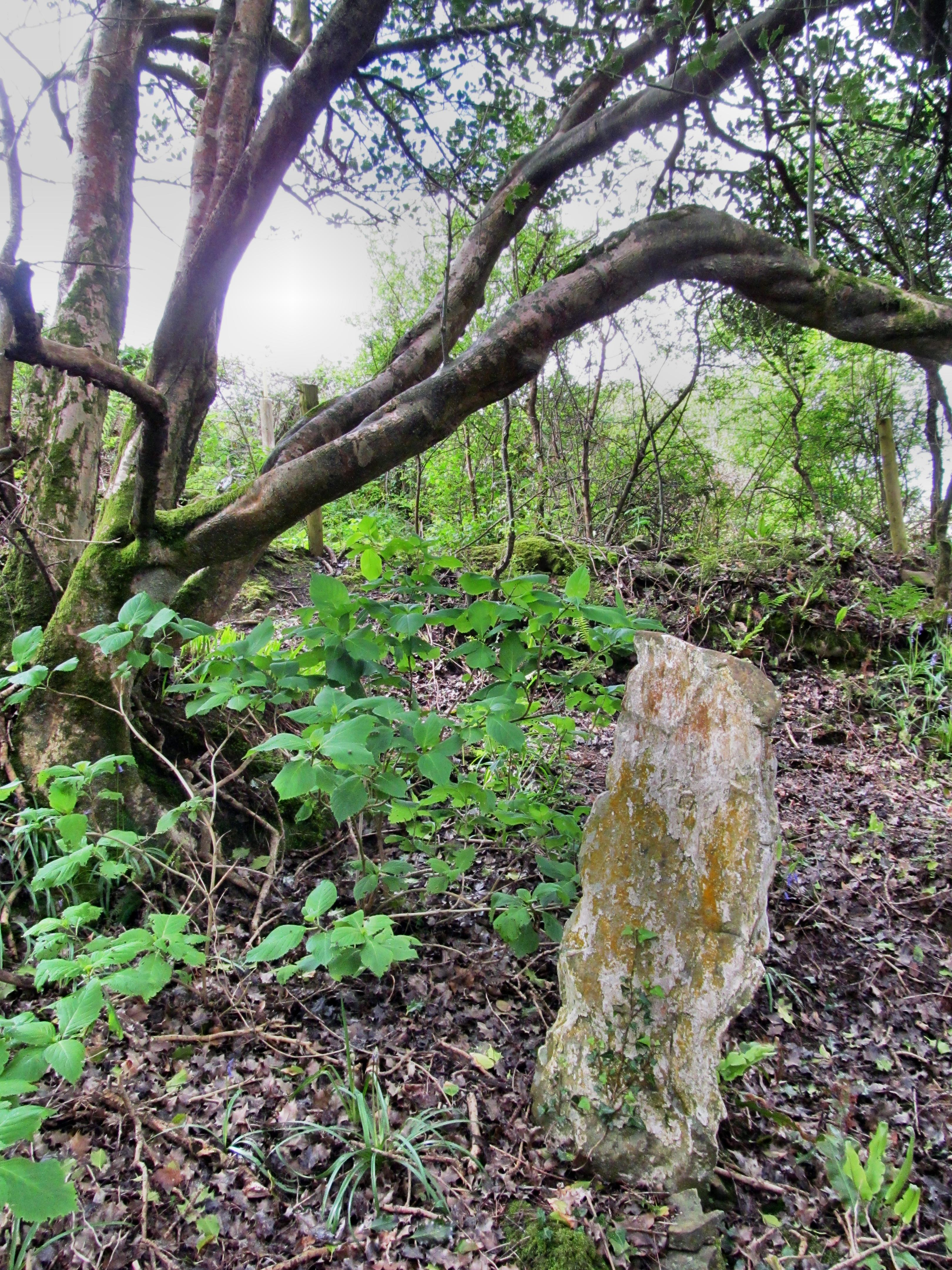 Hawthorn, hazel, willow and ash trees were sacred to the druids